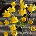 Allium scorzonerifolium spp. xericiense, Jane McGary [Shift+click to enlarge, Click to go to wiki entry]