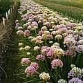 Allium senescens, Wietse Mellema