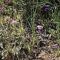 Allium serra, habitat shot, Nhu Nguyen