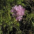 Allium serra, Bear Valley, Mary Sue Ittner