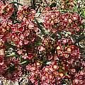 Allium shevockii, Nhu Nguyen