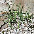 Allium sibthorpianum, Mark McDonough