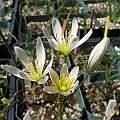 Allium sp. Chiapas, Nhu Nguyen