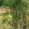 Allium sphaerocephalon, Nhu Nguyen