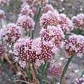 Allium staticiforme, Wietse Mellema [Shift+click to enlarge, Click to go to wiki entry]