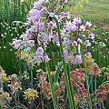Allium stellatum x nutans, Mark McDonough [Shift+click to enlarge, Click to go to wiki entry]