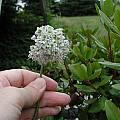 Allium stellatum x senescens, Mark McDonough