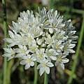 Allium subvillosum, Bob Rutemoeller