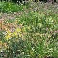 Alliums in the summer garden, Mark McDonough