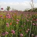 Allium suworoxii, Andrey Dedov [Shift+click to enlarge, Click to go to wiki entry]