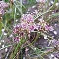 Allium tauricola, Wietse Mellema [Shift+click to enlarge, Click to go to wiki entry]