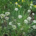 Allium texanum, Mark McDonough [Shift+click to enlarge, Click to go to wiki entry]