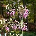 Allium thunbergii 'Ozawa', John Lonsdale