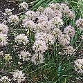 Allium togasii, Mark McDonough
