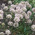 Allium togasii, Mark McDonough
