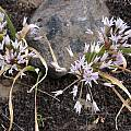 Allium tolmiei, Jane McGary [Shift+click to enlarge, Click to go to wiki entry]