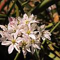 Allium trifoliatum 'Cameleon', Travis Owen [Shift+click to enlarge, Click to go to wiki entry]