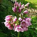 Allium tripedale, Kathleen Sayce [Shift+click to enlarge, Click to go to wiki entry]