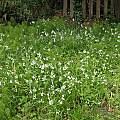 Allium triquetrum, Nhu Nguyen