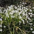 Allium triquetrum, Cornwall, Bob Rutemoeller