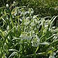 Allium triquetrum, Mendocino Coast, Bob Rutemoeller