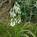 Allium triquetrum, escaped Mendocino County, Mary Sue Ittner