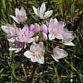 Allium unifolium, Bob Rutemoeller