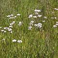 Allium unifolium habitat, Bob Rutemoeller