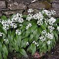 Allium ursinum, Bob Rutemoeller [Shift+click to enlarge, Click to go to wiki entry]