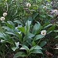 Allium victorialis, Mark McDonough [Shift+click to enlarge, Click to go to wiki entry]