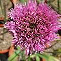 Allium winklerianum, RH