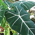 Alocasia 'Frydek', Arnold Trachtenberg [Shift+click to enlarge, Click to go to wiki entry]