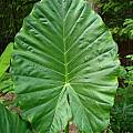 Alocasia macrorrhiza foliage, Jay Yourch [Shift+click to enlarge, Click to go to wiki entry]