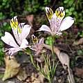 Alstroemeria spectabilis, Lee Poulsen
