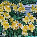 Alstroemeria 'Little Eleanor', Paul Tyerman