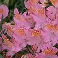 Alstroemeria ligtu ssp. incarnata, Jane McGary