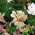 Alstroemeria short hybrid, Susan Hayek