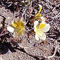 Alstroemeria kingii, Jane McGary