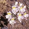 Alstroemeria leporina, Jane McGary