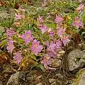 Alstroemeria lineatiflora, Norton Cuba