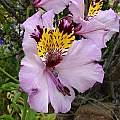 Alstroemeria magnifica flower, Eugene Zielinski