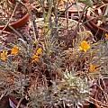 Alstroemeria patagonica, Jane McGary