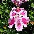 Alstroemeria pelegrina flower, Eugene Zielinski