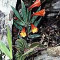 Alstroemeria plantaginea, Tsuh Yang Chen