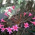 Brunsvigia josephinae x Amaryllis belladonna, Ken Gray