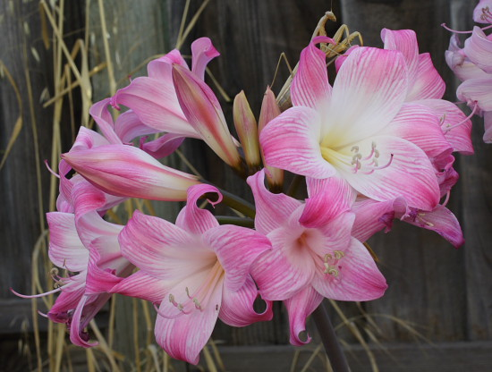 Pacific Bulb Society | Amaryllis selections from Les Hannibal MLH 1-25