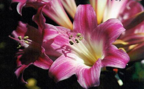 Pacific Bulb Society | Amaryllis selections from Les Hannibal MLH26-48