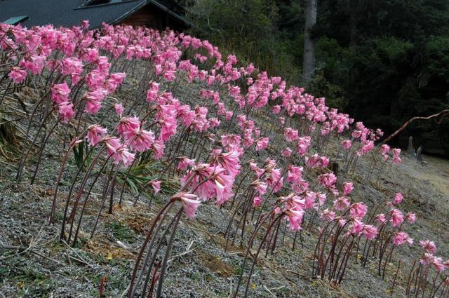 Pacific bulb society amaryllis for Amaryllis belladonna vente