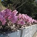 Amaryllis belladonna, Nhu Nguyen