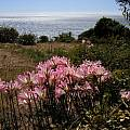Amaryllis belladonna, Bob Rutemoeller [Shift+click to enlarge, Click to go to wiki entry]